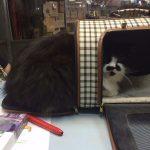 מרגילים חתול לכלוב