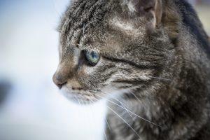 סרוס חתולים