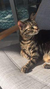 תסמונת הורנר בחתול
