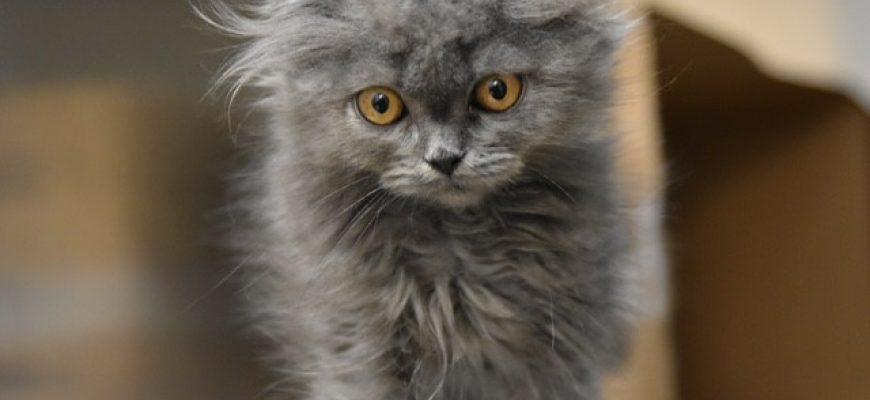 גזזת חתולים , פטרת חתולים , מחלה רצינית אבל ניתנת לטיפול