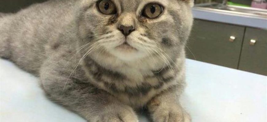 עקירת שיניים לחתול – מה כמה וכיצד