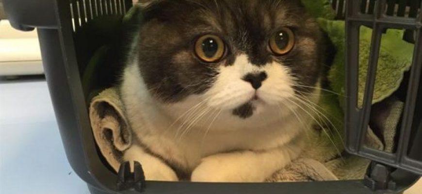 איך מרגילים חתול לכלוב נשיאה – המדריך המלא לעשה זאת בעצמך.